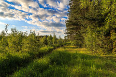 On the edge of the forest on a hot summer day. A young birch, spruce, pine Royalty Free Stock Images