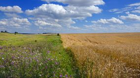 Sunny summer landscape with field of ripe wheat. stock photography