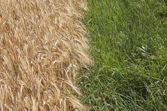 Edge of grain field. Stock Image