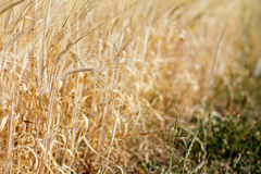On the edge of a grain field in summer Stock Image