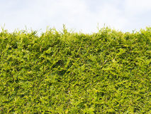 Edge green arborvitae bush. Sheared edge of the fragrant green arborvitae shrub with small needle-like leaves, softwood, against the sky Stock Image