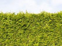 Edge green arborvitae bush Stock Image