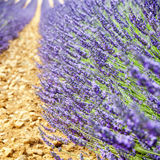 Edge of a lavender aisle on ocher ground Stock Photo
