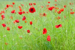 Flowering poppies in meadow with raindrops on grass after rain stock photography