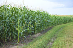 Edge of a midwestern cornfield Stock Photo