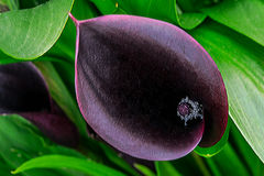 Edge of Night Arum. Dark purple, royal velvet, Edge of Night Arum flowers, Calla Lily Stock Photos