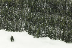 Edge of norway spruce tree wood with snow Royalty Free Stock Photos