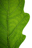 Edge of an oak leaf Royalty Free Stock Photos