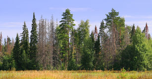 Edge Of The Green Forest With Dead Trees Stock Images