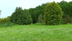 Edge of pine forest. One can see the trees and meadow with grass. Edge of pine forest. One can see the trees and meadow with green grass stock video footage