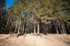 Edge of a pine forest. The roots of trees on the sandy shore of the forest lake Stock Photos