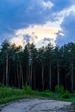 Edge of a pine forest at sunset Royalty Free Stock Images