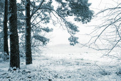 Snowy forest. Edge of pine forest in winter stock image