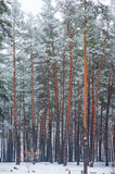 Edge of a pine forest in winter Royalty Free Stock Photos