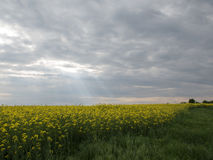 The edge of the rape field Royalty Free Stock Photography
