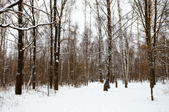 Edge of the snow covered forest Royalty Free Stock Photos