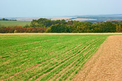 Edge of sown wheat fields near the forest Stock Photo
