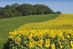 Edge of sunflower field Royalty Free Stock Photos