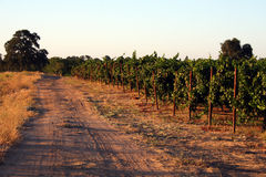 Edge of the Vineyard. The dirt road on the edge of the vineyard separating two fields Lodi California royalty free stock images
