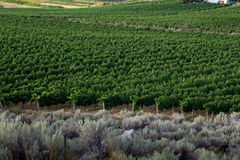 Edge of a vineyard with rows  grape vines Royalty Free Stock Photos