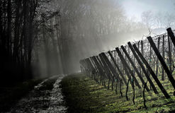 At the edge of the vineyards. Way between forest and vineyards with wooden vineard posts and with slight fog and blue sky stock images