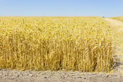 Edge of the wheat field against of the clear sky Royalty Free Stock Images
