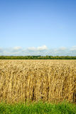Edge of a wheat field from close Royalty Free Stock Photography