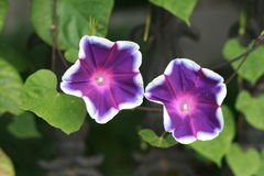 While-edged morning glory Stock Image