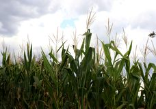 Edges of corn growing on a field in Greece. Cloudy sky. royalty free stock image