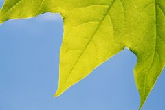 Edges of maple leaf royalty free stock images