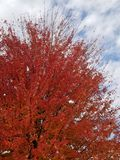 Edges of red fall color. Ed tree royalty free stock photo