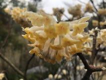 Edgeworthia-chrysantha stockfotografie