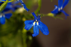 Edging lobelia Lobelia erinus Royalty Free Stock Image
