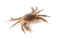 edible alive crab isolated on a white background Stock Photo