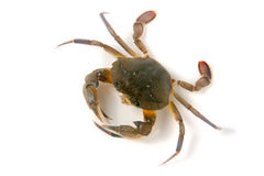 edible alive crab isolated on a white background Stock Photos