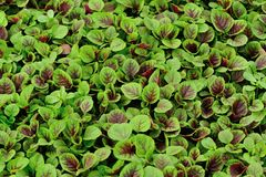 Edible amaranth Royalty Free Stock Photos