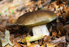 Edible boletus. Boletus edulis growing in the coniferous forest Stock Photography