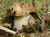 Edible boletus Stock Images