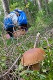 Edible Boletus edulis mushroom close-up Royalty Free Stock Photography
