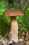 Edible Boletus edulis mushroom closeup Stock Photography