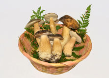 Edible boletus edulis mushrooms Stock Images