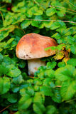 Edible boletus and leaves Stock Photos