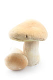 Edible boletus mushrooms Stock Photos