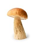 Edible boletus on white background Royalty Free Stock Photography
