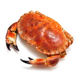 Edible brown crab. Stock Image