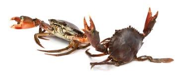 Crab. Edible brown crab. Crustacean, food royalty free stock images