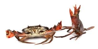 Crab. Edible brown crab. Crustacean, food royalty free stock photo