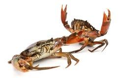 Crab. Edible brown crab. Crustacean, food royalty free stock photography