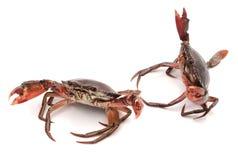 Crab. Edible brown crab. Crustacean, food stock photos