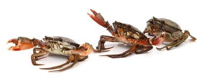 Crab. Edible brown crab. Crustacean, food royalty free stock photos